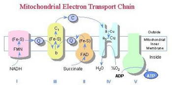 Mitochondrial Electron Transport Chain