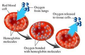 http://cdn3.drsircus.com/wp-content/uploads/winningcancer/2010/03/hemaglobin.jpg