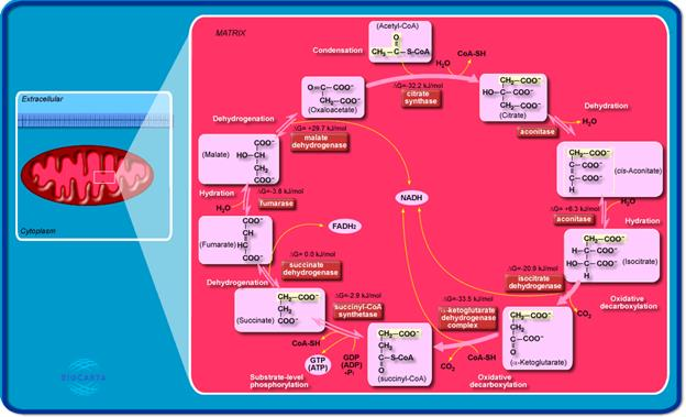 http://www.biocarta.com/pathfiles/krebPathway.gif