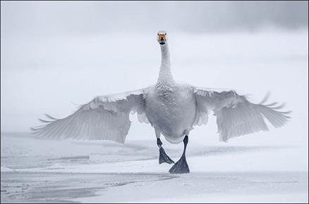 http://siberiantimes.com/PICTURES/ECOLOGY/SWAN-LAKE/Alexey-Ebel/inside%20swan%20running%20towards%20camera.jpg