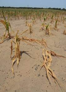 Descrição: http://standeyo.com/NEWS/12_Food_Water/12_Food_Water_pics/120709.dead.corn.drought.jpg