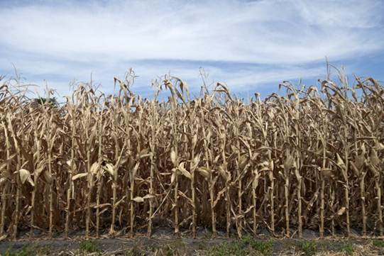Descrição: This photo from July 31, 2012 shows dried corn plants in Yutan, Neb. U.S. corn growers could have their worst crop in a generation as the harshest drought in decades takes its toll, the government rep