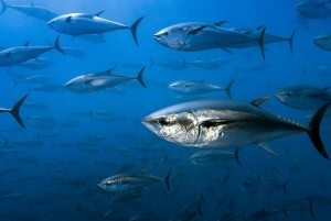 bluefin_tuna_mediterranean