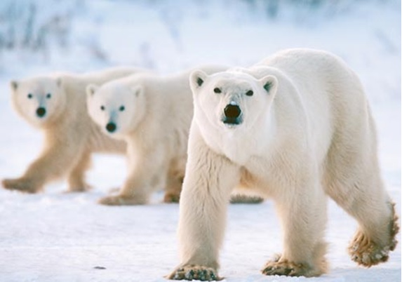 https://www.iceagenow.info/wp-content/uploads/2017/10/Polar-bears.jpg