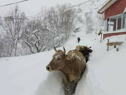 https://www.iceagenow.info/wp-content/uploads/2017/12/Cows-in-snow-in-Turkey.jpg