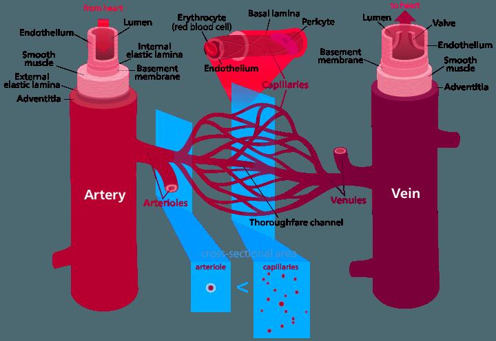 Diagram of blood vessel structures.