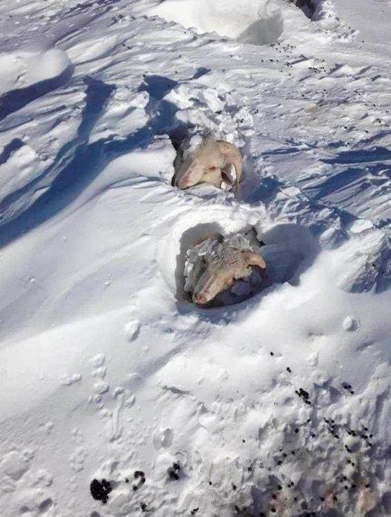 Los productores patagónicos salvan ovejas atrapadas en medio de la nieve.