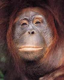 Descrição: orangmother.jpg